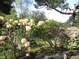 rhododendrons in bloom